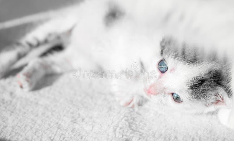 Un pequeño gatito triste lindo miente en una alfombra blanca en el sol Gatito soñoliento lindo imagen de archivo libre de regalías