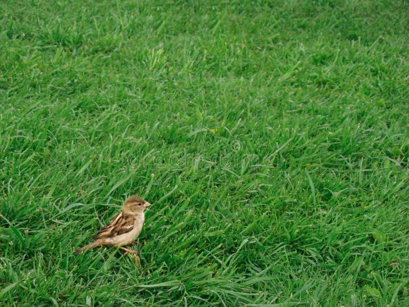 Un pequeño gorrión gris mullido joven camina en busca de la comida imagenes de archivo