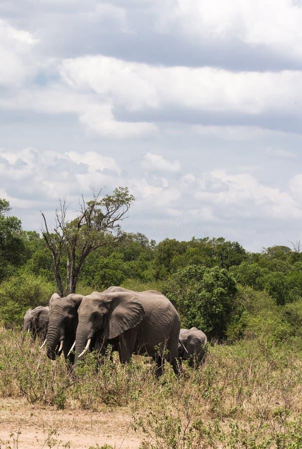Un pequeño grupo de elefantes cruza el camino Masai Mara, Kenia foto de archivo