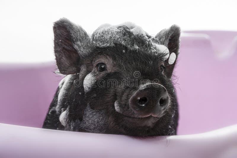 Un pequeño guarro negro lindo teniendo baño imágenes de archivo libres de regalías