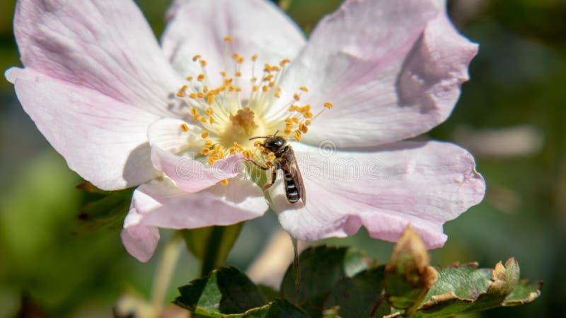 Un pequeño insecto que come en una flor fotografía de archivo libre de regalías