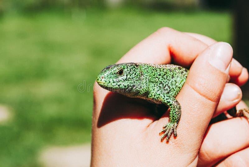 Un pequeño lagarto verde del jardín en una leva de los childs imágenes de archivo libres de regalías