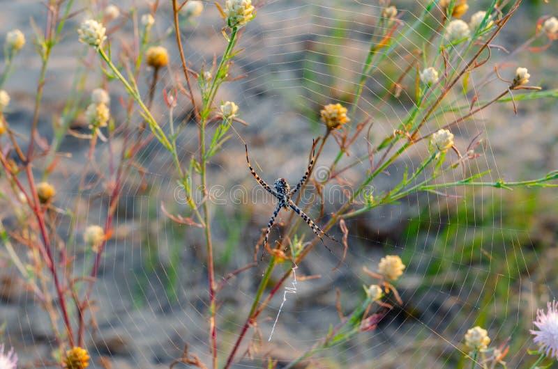 Un pequeño lobata del Argiope de la araña ha tejido su web para cazar entre tallos de la hierba salvaje y de flor Tiroteo de arri fotos de archivo libres de regalías