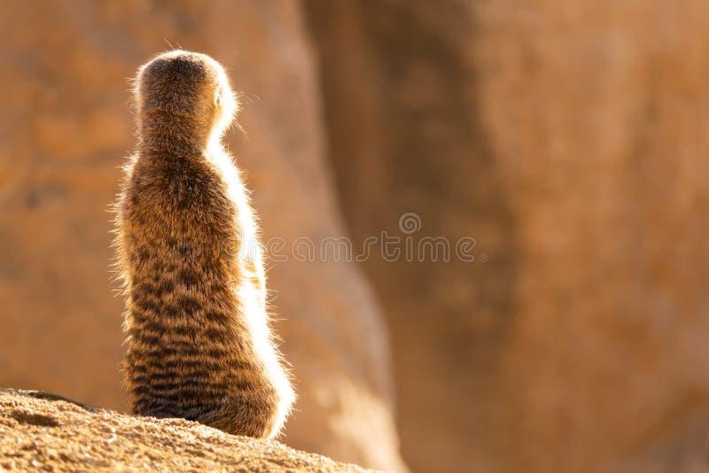 Un pequeño meerkat lindo se sienta en una piedra y mira a infinito imágenes de archivo libres de regalías