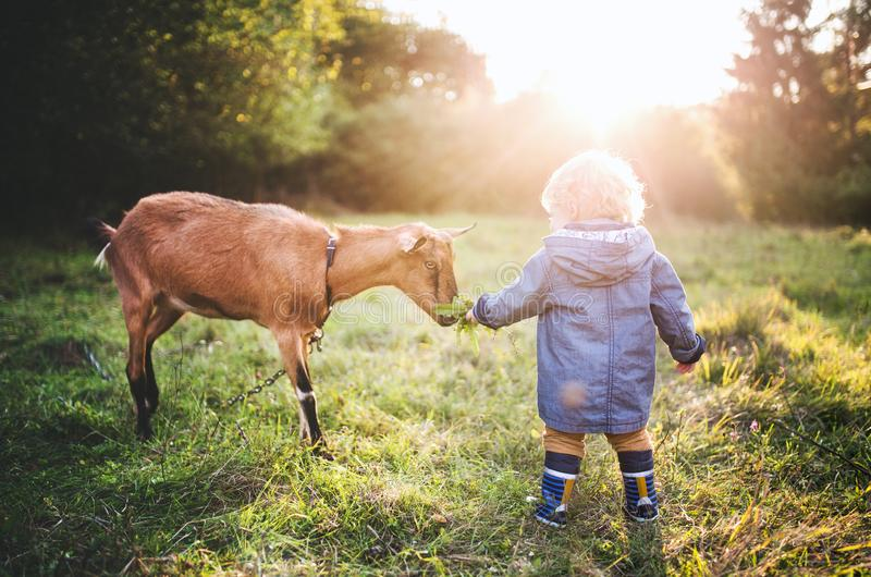Un pequeño niño pequeño que alimenta una cabra al aire libre en un prado en la puesta del sol foto de archivo libre de regalías