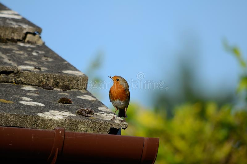 Un pequeño pájaro breasted rojo, un petirrojo, se sienta al borde de un tejado tejado que parece ido fotografía de archivo libre de regalías