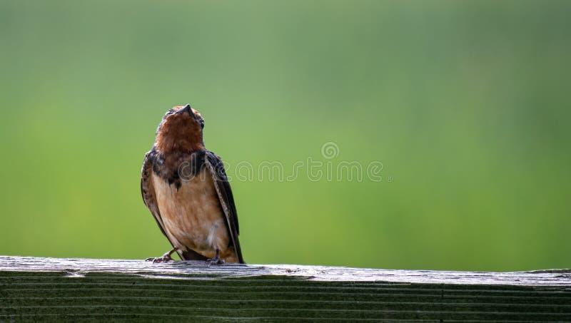 Un pequeño pájaro cantante, trago de granero que mira para arriba en la sol brillante fotografía de archivo