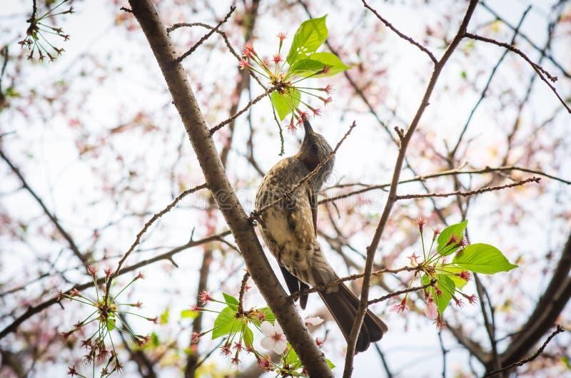 Un pequeño pájaro comer el néctar dulce de las flores de la flor de cerezo fotos de archivo libres de regalías