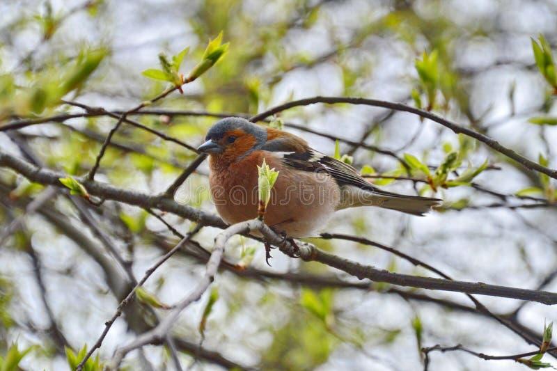 Un pequeño pájaro de la ciudad - pinzón vulgar en el parque imagen de archivo