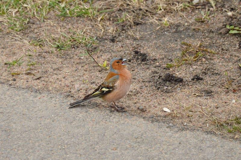 Un pequeño pájaro de la ciudad - pinzón vulgar en el parway foto de archivo