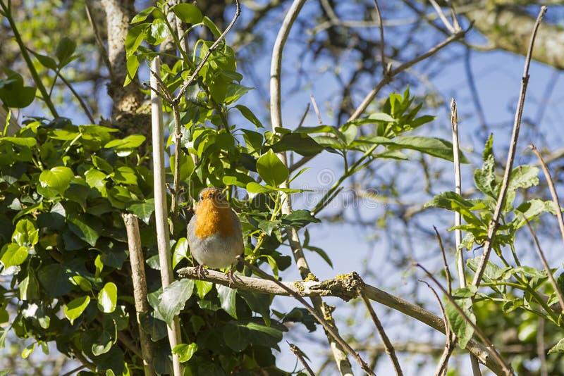 Un pequeño pájaro del petirrojo foto de archivo libre de regalías