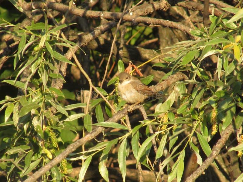 Un pequeño pájaro gris que se sienta en un árbol costero del bosque del vetkadikogo con las hojas soleadas verdes claras del vera imagenes de archivo