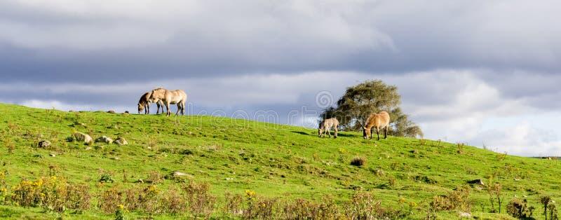 Un pequeño paquete de los caballos salvajes de Przewalski pasta en la fauna Safari Park, Escocia de la montaña fotografía de archivo libre de regalías