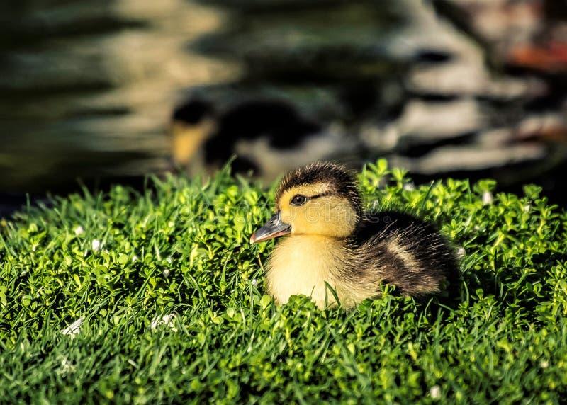 Un pequeño pato serio fotos de archivo