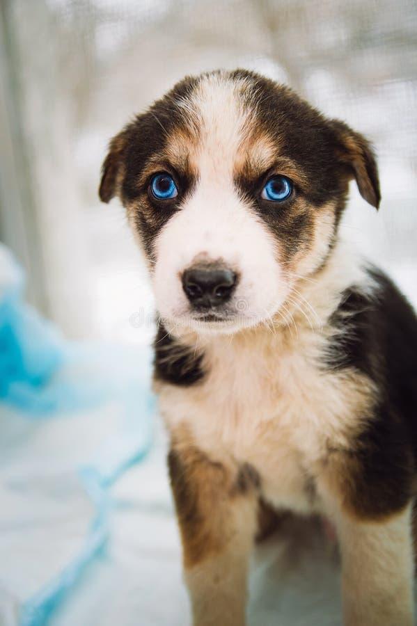 Un pequeño perrito triste con los ojos azules mira en la cámara imágenes de archivo libres de regalías
