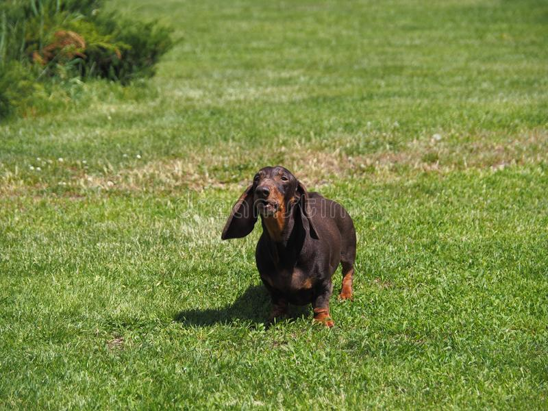 Un pequeño perro con el descortezamiento de los oídos de la ejecución fotos de archivo