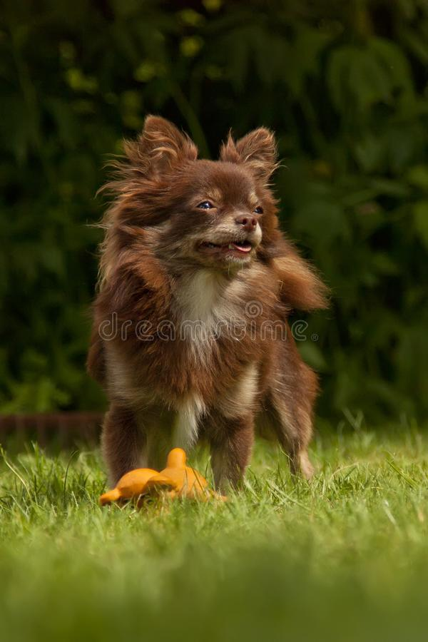 Un pequeño perro de pedigrí se coloca en una hierba verde fotos de archivo