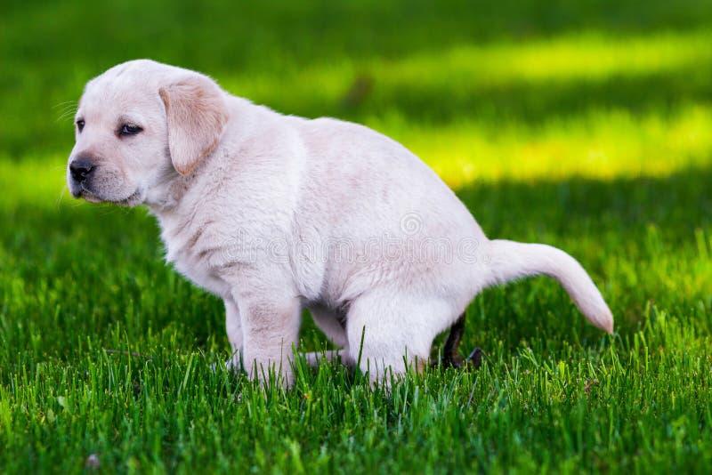 Un pequeño perro de perrito de Labrador purebreed está cagando en el jardín fotografía de archivo libre de regalías