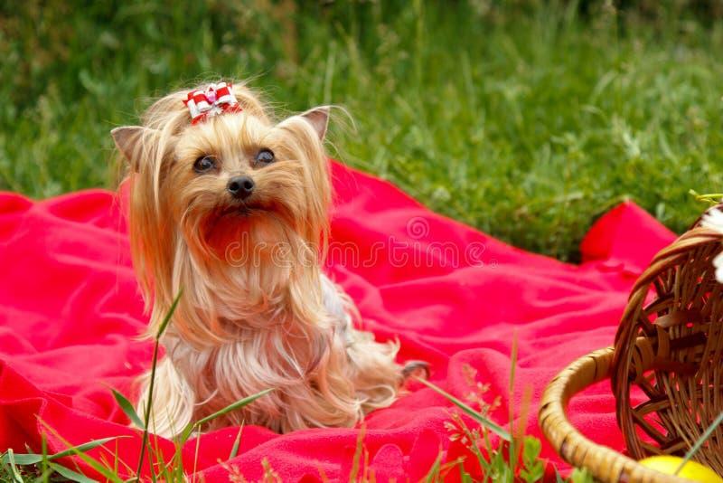 Un pequeño perro en una tela escocesa roja fotos de archivo