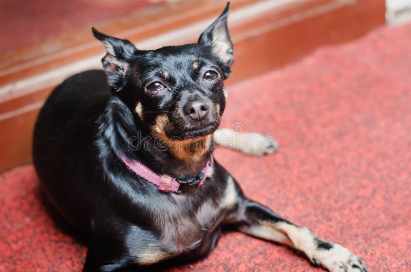 Un pequeño perro liso-cabelludo negro descansa sobre una alfombra roja fotos de archivo