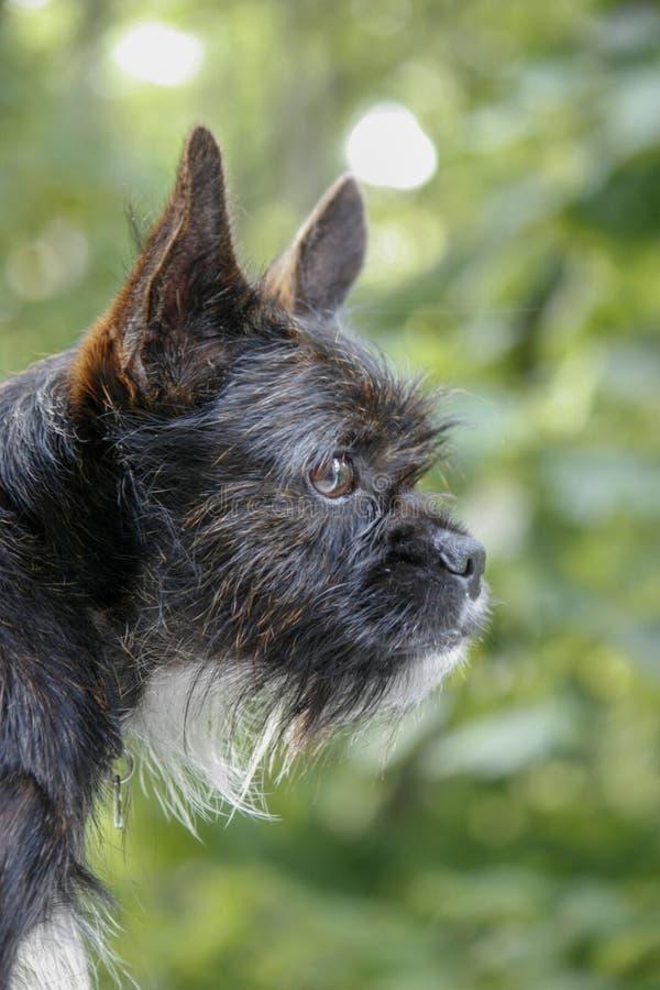 Un pequeño perro negro mira fuera de la ventana con los ojos inteligentes e interesados Man' mejor amigo de s Fondo verde en foto de archivo
