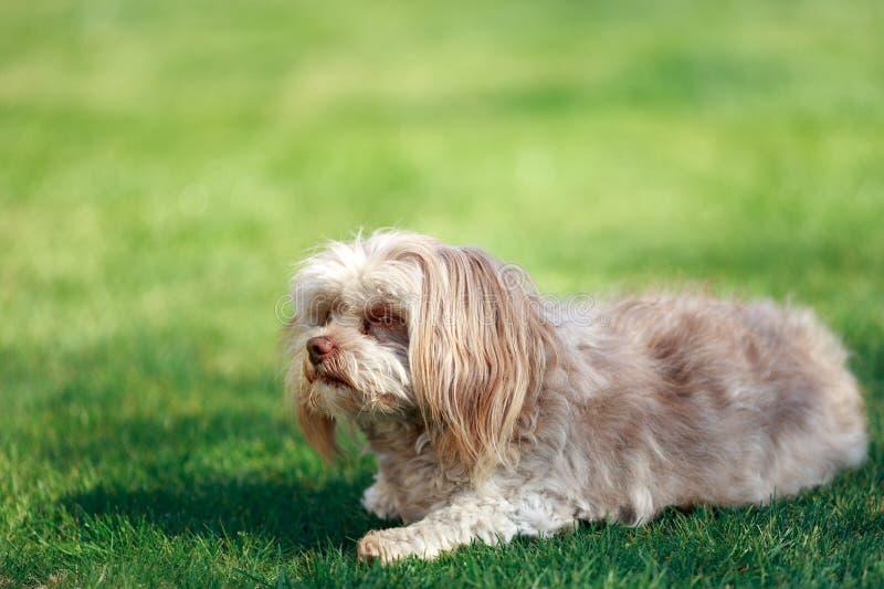 Un pequeño perro precioso con la nariz marrón única fotografía de archivo
