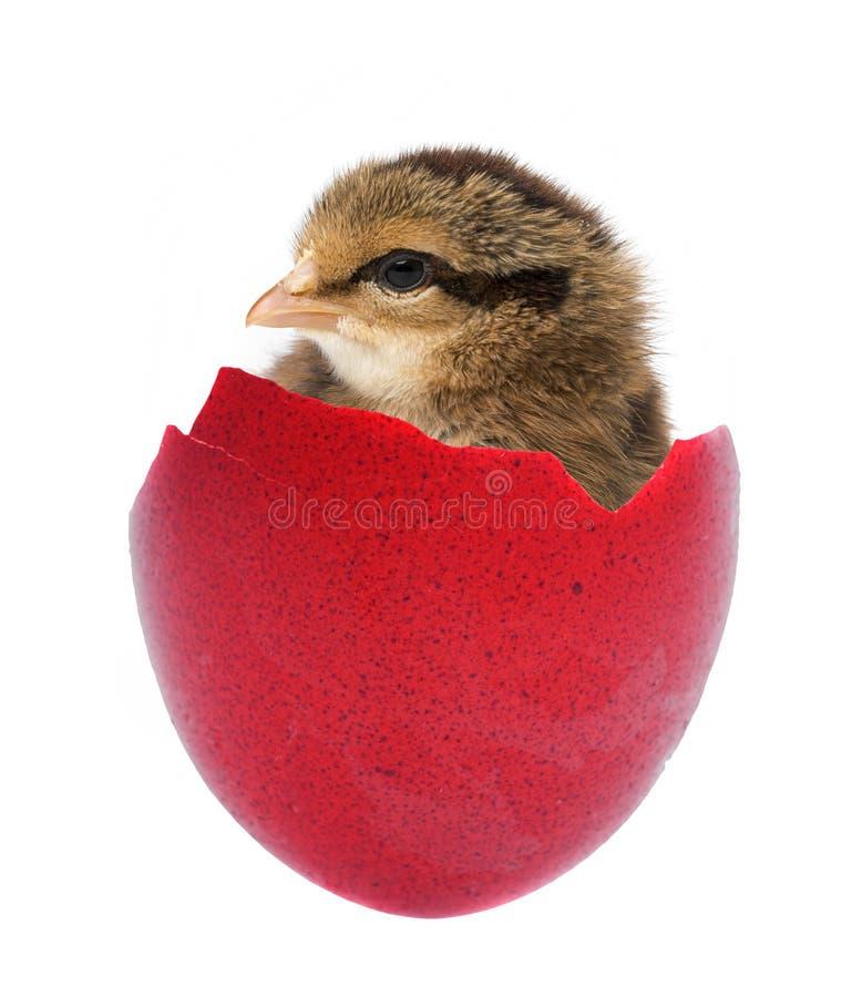 Un pequeño pollo imagen de archivo