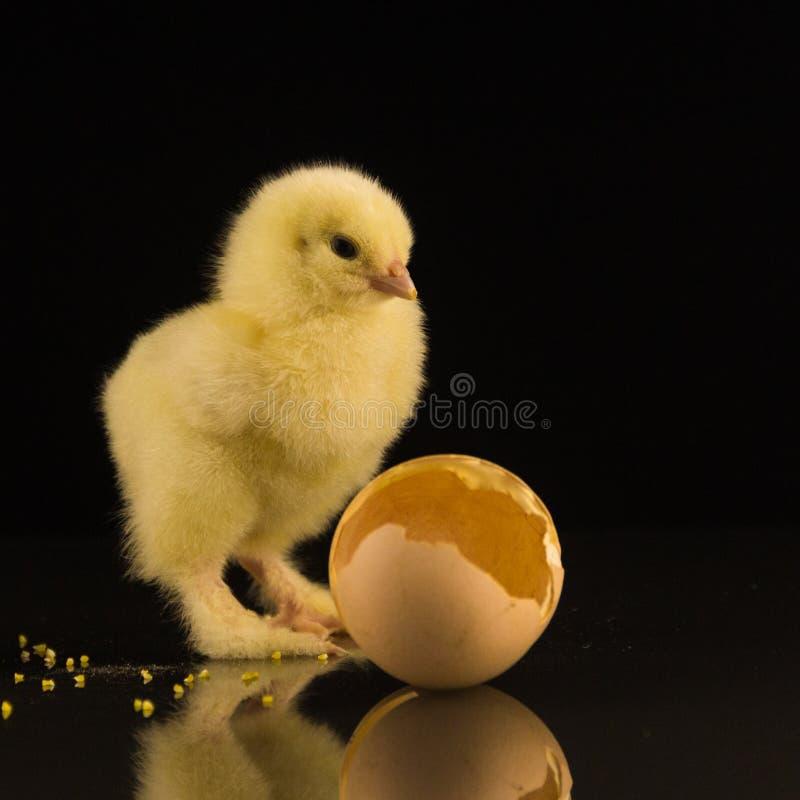 Un pequeño pollo recién nacido amarillo con las patas lanudas en un fondo negro imagenes de archivo