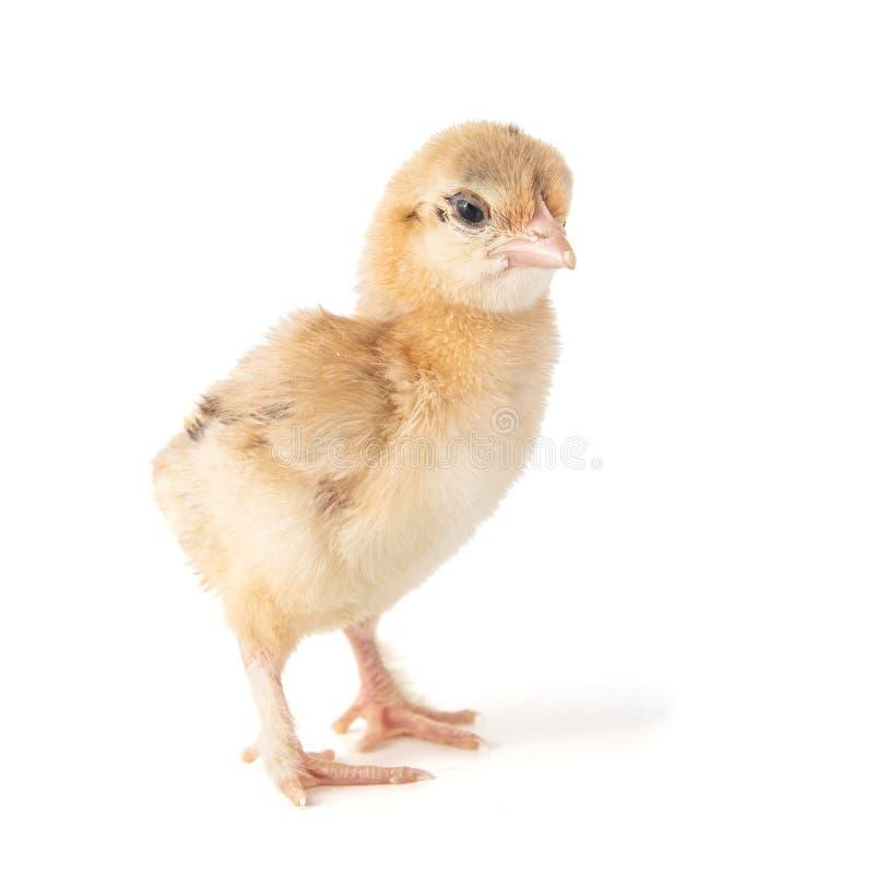 Un pequeño polluelo del silkie pequeno aislado en un fondo blanco imagenes de archivo