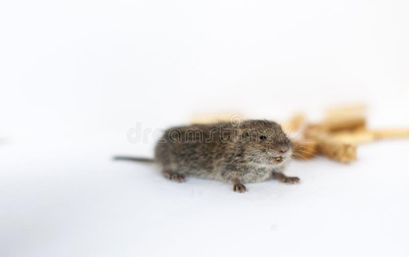Un pequeño ratón salvaje gris en un fondo blanco que roba las galletas imagen de archivo