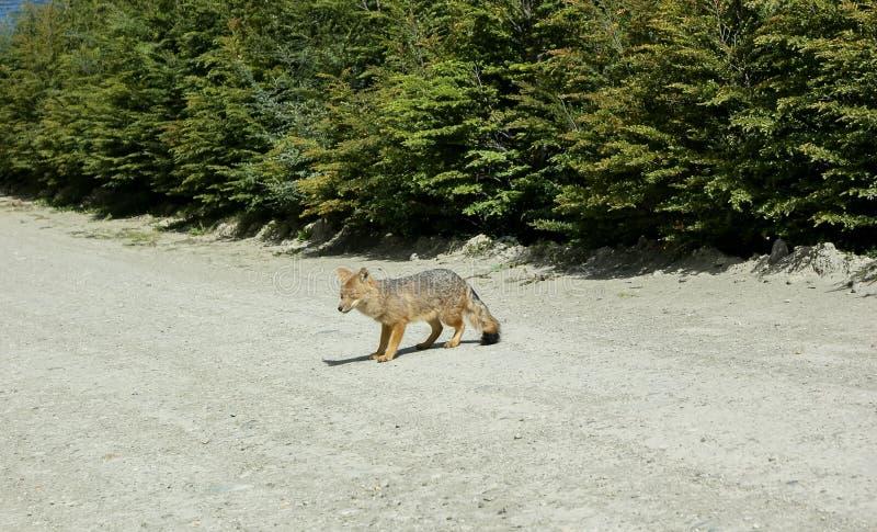 un pequeño zorro gris y rojo salvaje que camina y que mira fotografía de archivo libre de regalías