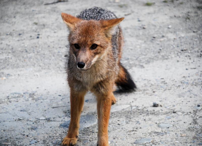 un pequeño zorro gris y rojo salvaje que camina y que mira fotos de archivo