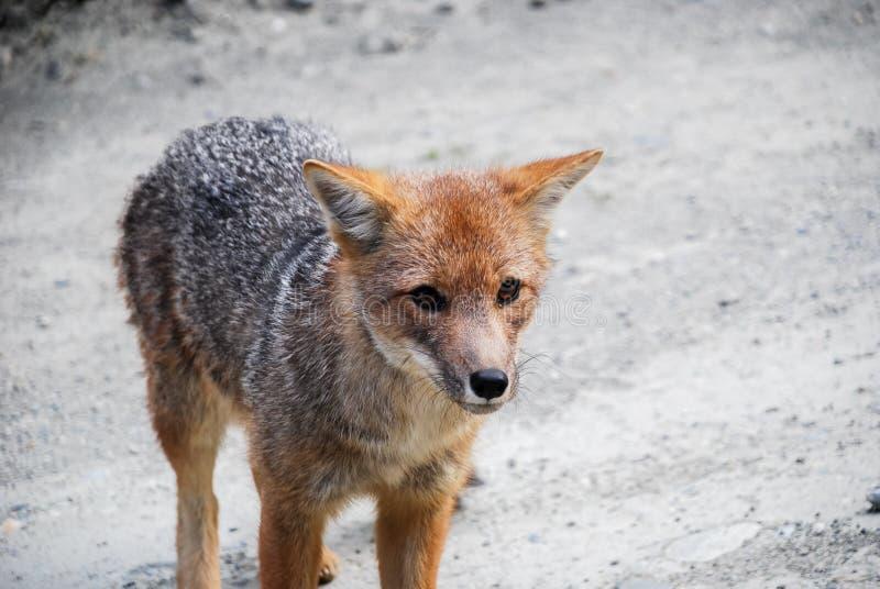 un pequeño zorro gris y rojo salvaje que camina y que mira imagen de archivo