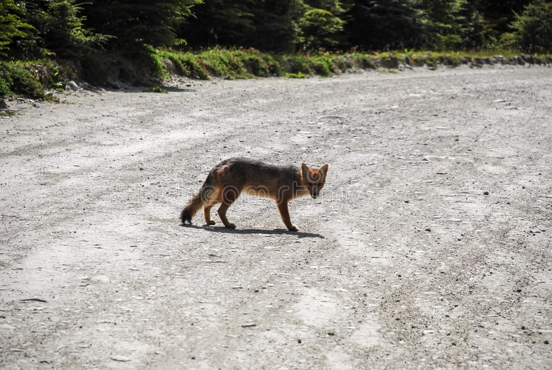 un pequeño zorro gris y rojo salvaje que camina y que mira fotografía de archivo