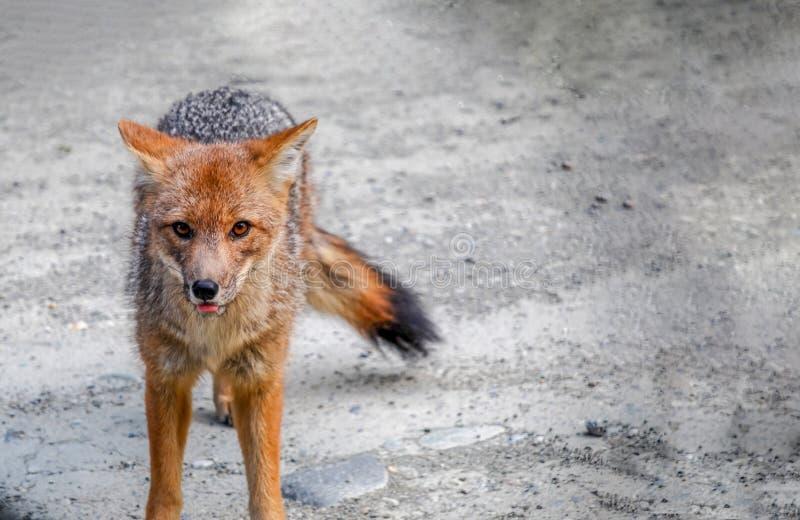 Un pequeño zorro gris y rojo salvaje que camina y que mira foto de archivo