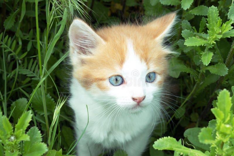 Un peque?o gatito rojo con los juegos de los ojos azules en la hierba Primer fotos de archivo libres de regalías