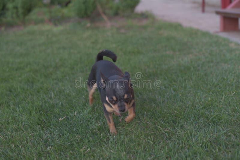 Un peque?o perro blanco y marr?n de la chihuahua en hierba Peque?o perro en parque del verano Paseo al aire libre del peque?o per foto de archivo libre de regalías