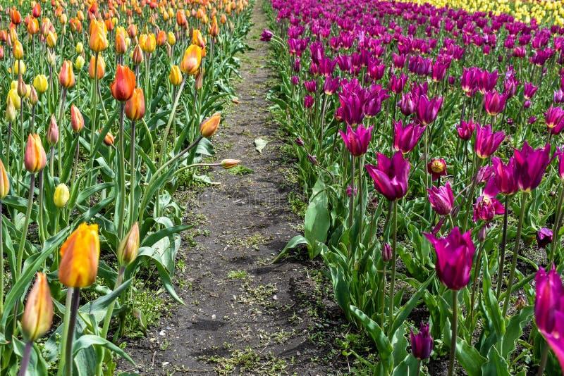 Un percorso attraverso un campo dei tulipani immagini stock