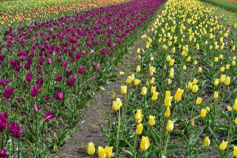 Un percorso attraverso un campo di multi tulipani colorati fotografia stock