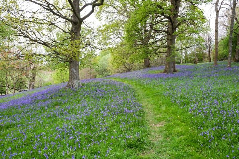 Un percorso dell'erba avvolge il suo modo tramite il tappeto denso delle campanule in questa scena aperta del terreno boscoso immagine stock libera da diritti