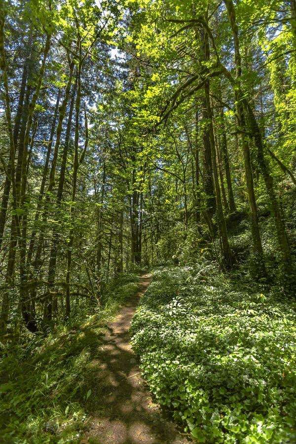 Un percorso nella foresta di verde leggiadramente con il sole irradia a Washington, U fotografia stock libera da diritti
