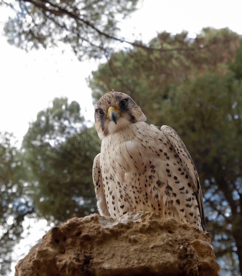 Un peregrinus de falco de faucon sur une pierre photos stock