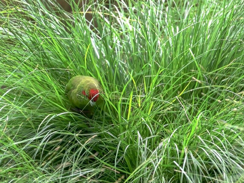 Un periquito coronado rojo que forrajea en hierba larga fotografía de archivo