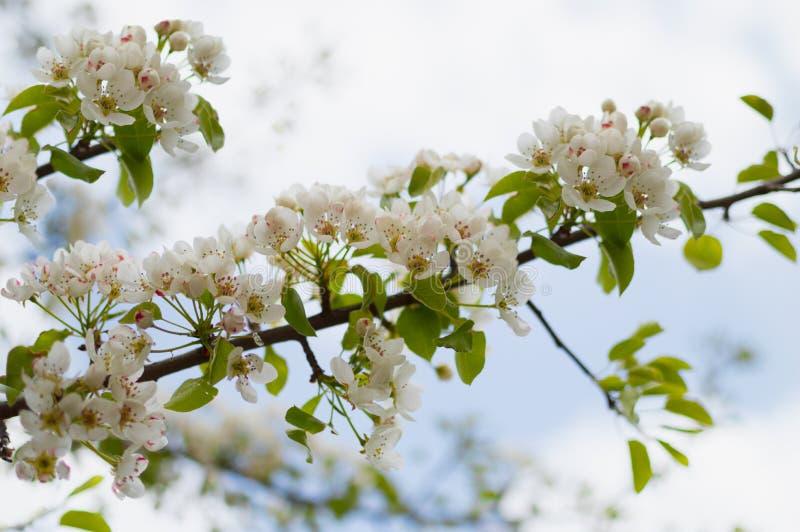 Un pero sbocciante nella primavera Profumo esaltante della molla immagini stock