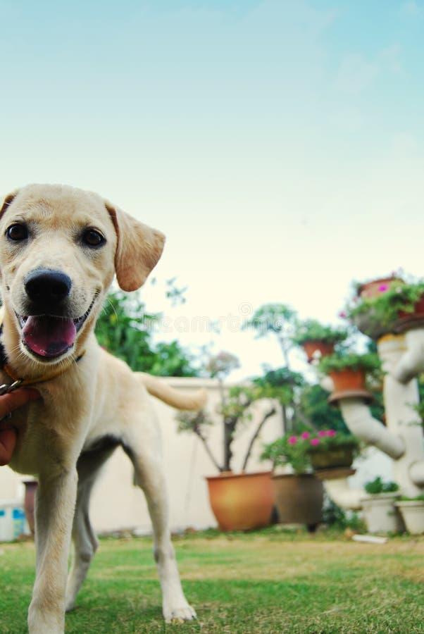 Un perrito blanco y de oro imagen de archivo