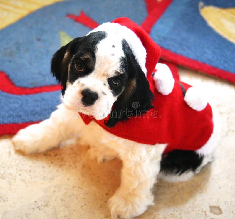 Un perrito de pedigrí de cocker spaniel en un traje de Papá Noel fotografía de archivo