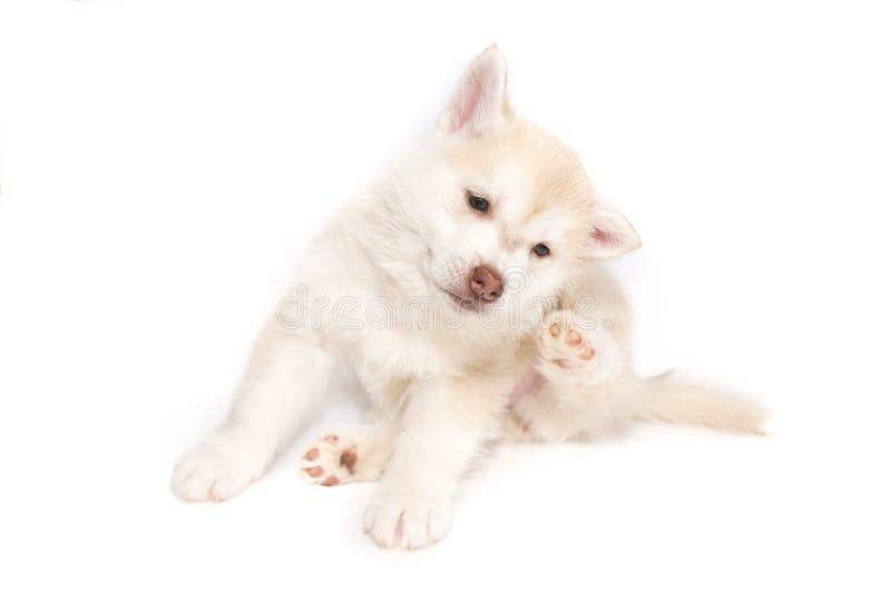 Un perrito fornido rasguñó detrás del oído, aislado en el fondo blanco imagen de archivo