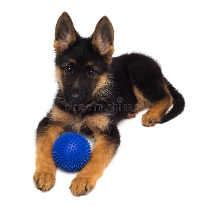 Un perrito hermoso es el pastor alemán que juega con la bola, aislada en un fondo blanco Primer mullido del perro de marrón y imagen de archivo