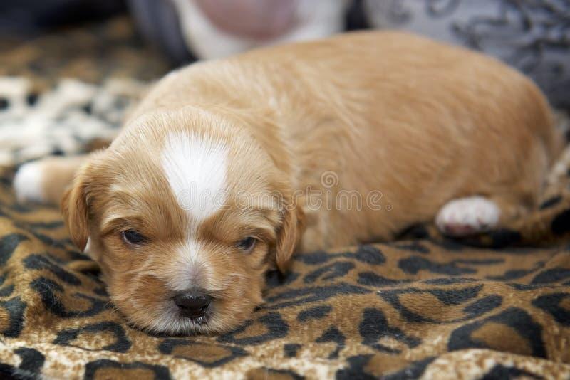 Un perrito minúsculo muy pequeño colocado en una estera por la luz de la ventana imagenes de archivo