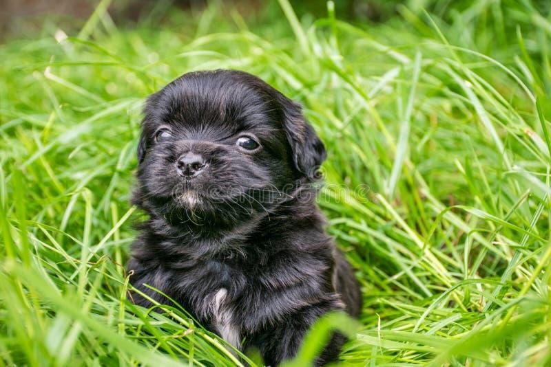 Un perrito negro triste se sienta en la hierba verde Un pequeño perrito con los puntos blancos mira al lado Copie el espacio foto de archivo